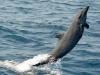 Jumping-Delphin2